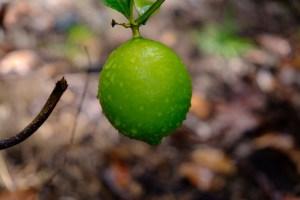citronnier
