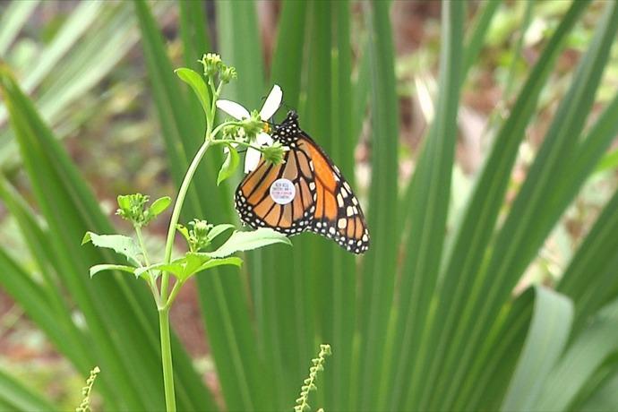 Monarch Butterfly_-9150099809975451352