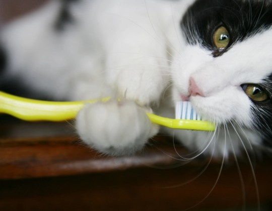 Dental Care for your Cat
