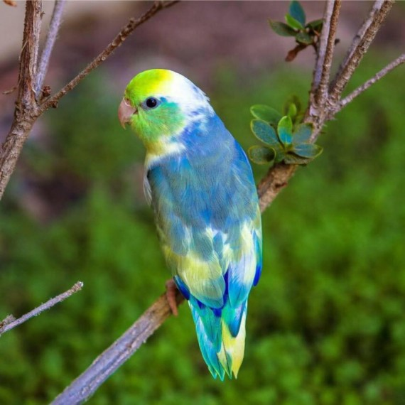 baby parrotlets in all