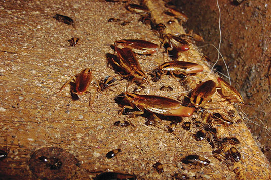 How to improve German cockroach control Learn their