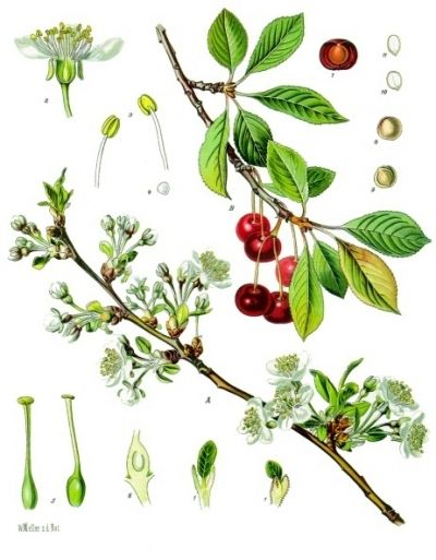 the sour cherry tree