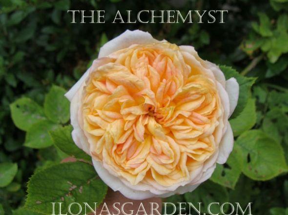 Rose in my garden.