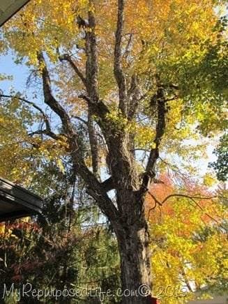 large-maple-tree