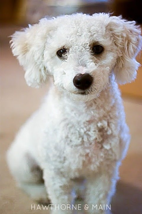 MAzie-sweet-white-dog