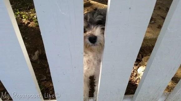 lulu mae peeking through the fence