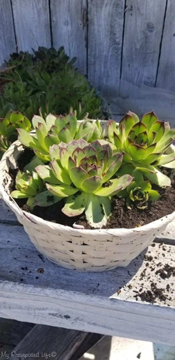 transplant hens and chick succulents into repurposed Easter basket
