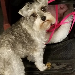 schnoodle dog entering pet carrier