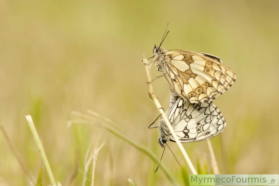 papillons et chenilles de france