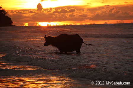 Old buffalo taking a bath in the sea
