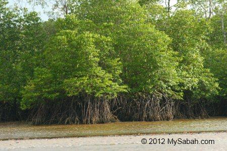 mangrove trees in tidal zone
