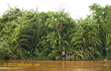 Oncosperma tigillarium (Nibung palm)