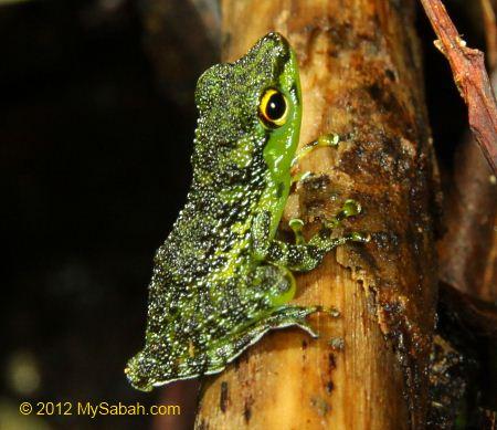 black-spotted rock frog