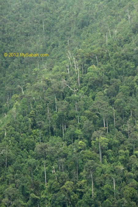 ultramafic forest on mountains of Telupid
