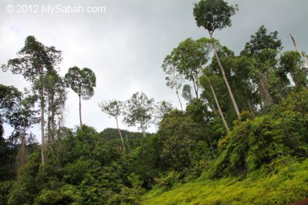 Ultramafic forest of Tawai