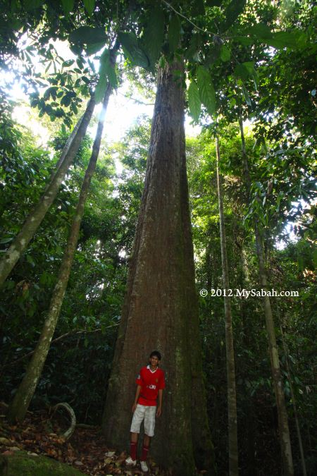 tall Ironwood or Belian in forest of Imbak Canyon