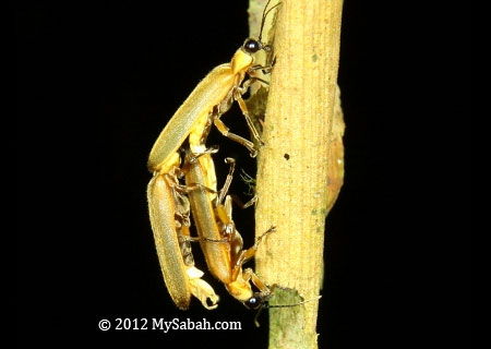 forest firefly mating
