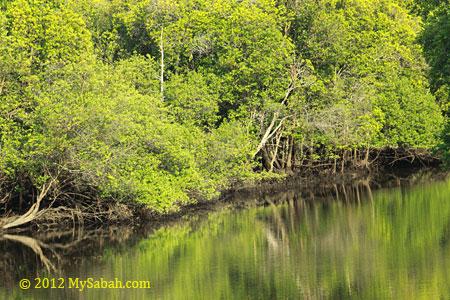 mangrove and river bank