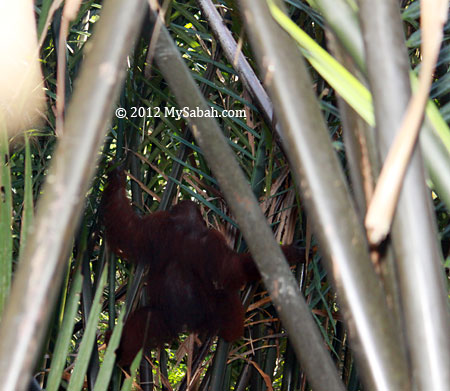 orangutan on nipah