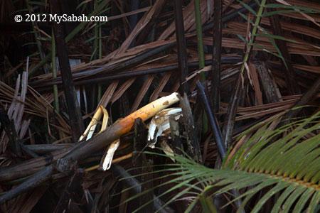 nypa palm eaten by orangutan