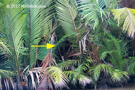 orangutan moving in nypa palm