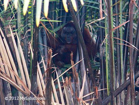 orang-utan in nipah swamp
