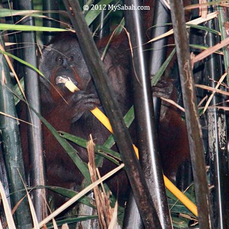orangutan eating nypa palm