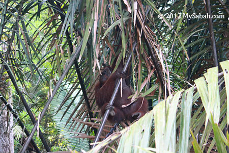 orangutan climbing nypa palm