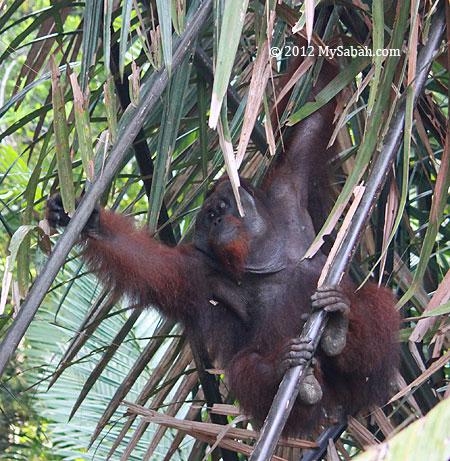 adult orangutan in Kinabatangan