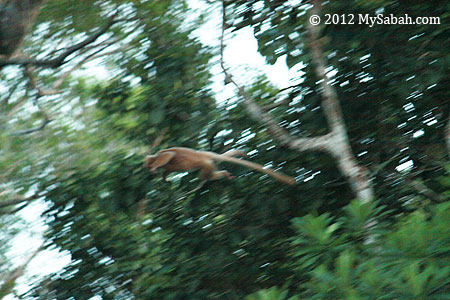 leaping white Silvered Langur
