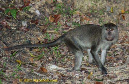 monkey of Sepilok