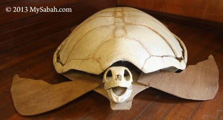 skeleton of sea turtle