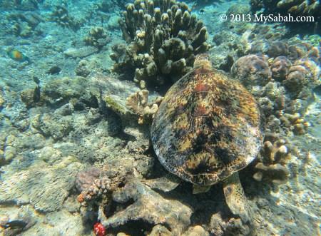 sea turtle in the sea