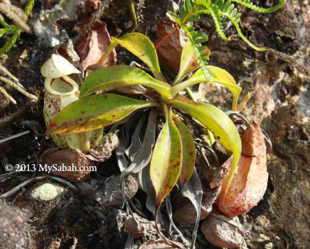 pitcher plant in Weston
