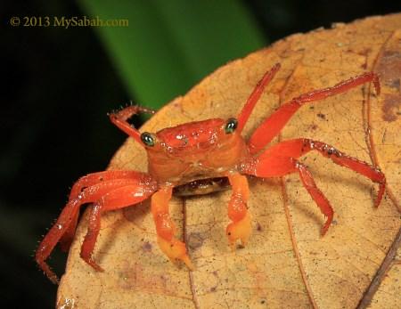 Silam Crab (Geosesarma aurantium)