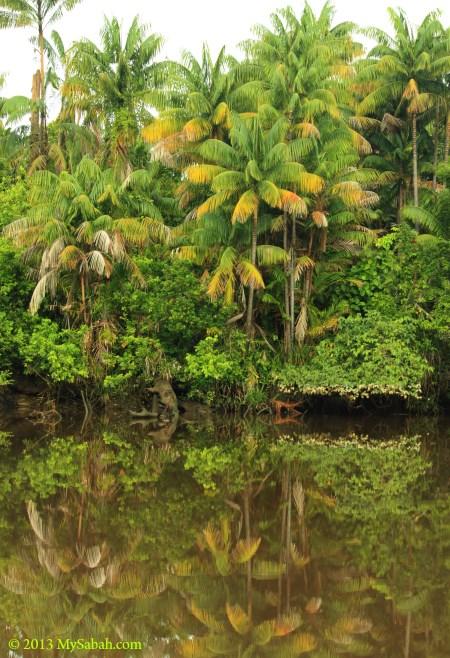 Nibung palm in Klias