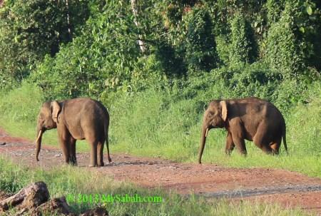 pygmy elephants