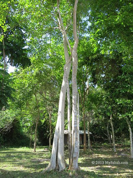 Bao-Bao Tree