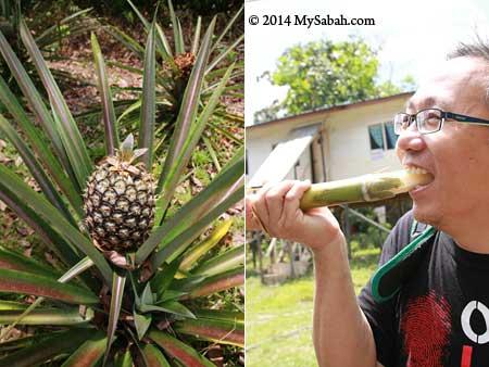 pineapple and sugarcane