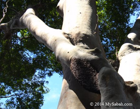 honey bee nest on Menggaris tree
