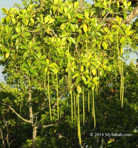 vivapary fruit of mangrove