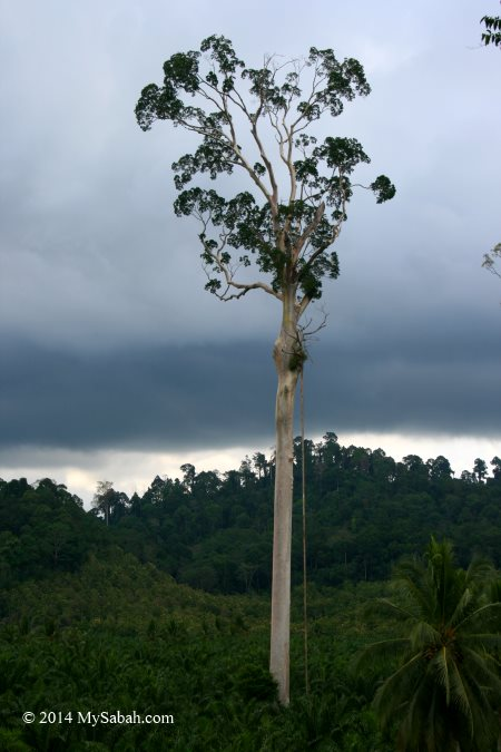 menggaris tree