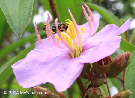 honey bee and stingless bee on a flower