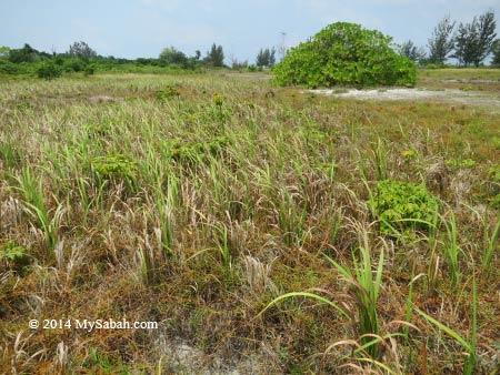 grass and shrubs on Mengalum Island