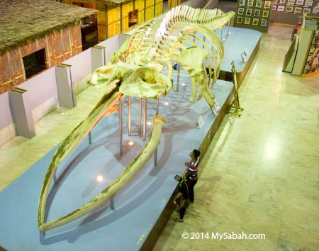 biggest Bryde's Whale Skeleton in The Malaysia Book of Records