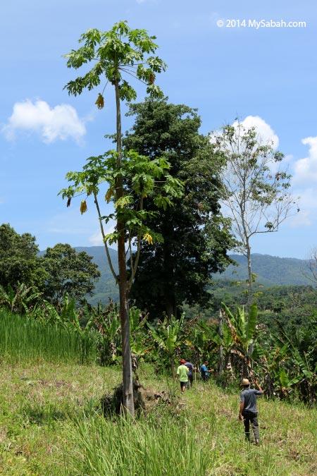 tall papaya tree