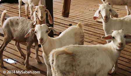 smiling goats