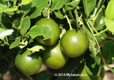 Calamondin fruit / Limau Kasturi