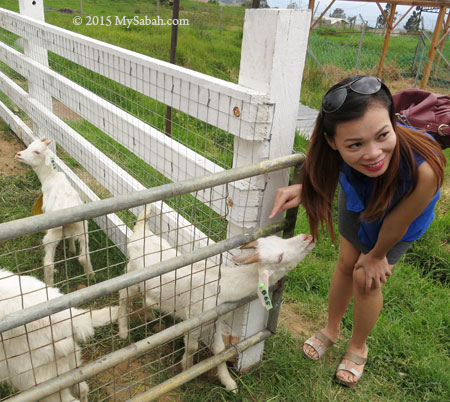 taking photo with goat at calf pen
