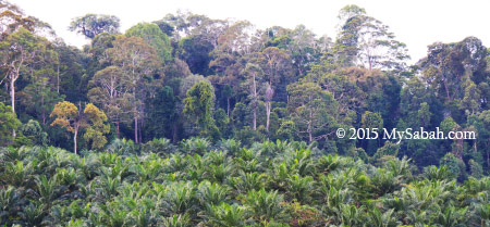 rainforest and oil palm